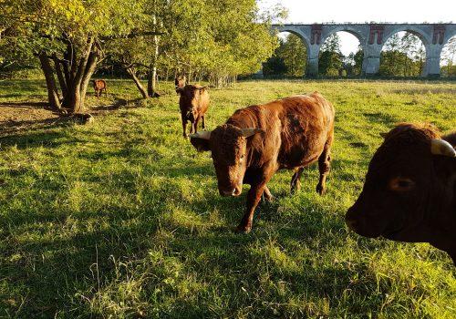 Kuehe-auf-Weide