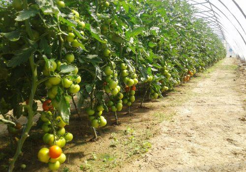 Tomaten-Agrargenossenschaft