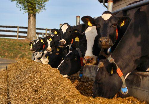 agrargenossenschaft-kuehe